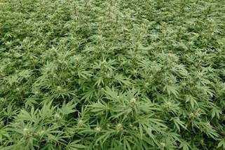 Wietkweker probeert rechter te verleiden tot politieke uitspraak | Cannabisclub | Scoop.it