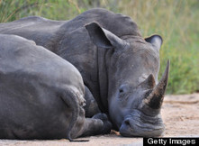 Rangers Kill Poachers To Save Rhinos In South Africa   Nature Animals humankind   Scoop.it