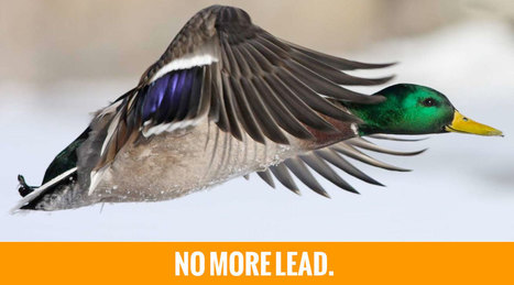 Help end duck shooting: a ban on ALL lead shot! | SAFE For Animals : New Zealand Animal Rights | Introduce new course in schools called COMPASSION | Scoop.it