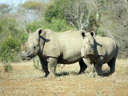 More locals join plan to protect rhino | What's Happening to Africa's Rhino? | Scoop.it