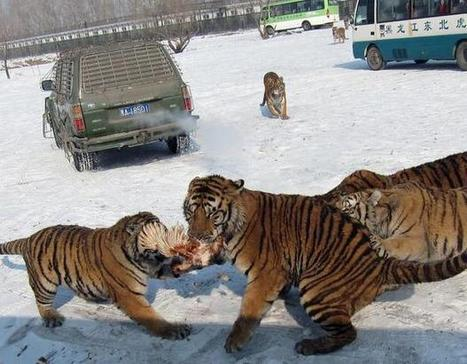 HARBIN, China: China's tiger parks under fire from conservationists, animal cruelty experts | Asia | McClatchy DC | GarryRogers Biosphere News | Scoop.it
