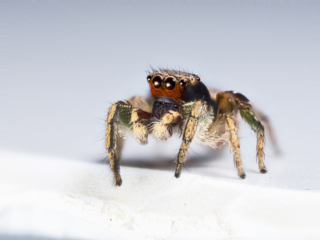 Surprise: Jumping Spiders Can See More Colors Than You Can #biology #science | Limitless learning Universe | Scoop.it