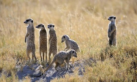 'Mean girl' meerkats make more testosterone than males - but at a cost | Oceans and Wildlife | Scoop.it