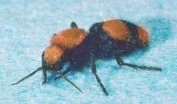 Velvet Ants are Wasps   All About Ants   Scoop.it