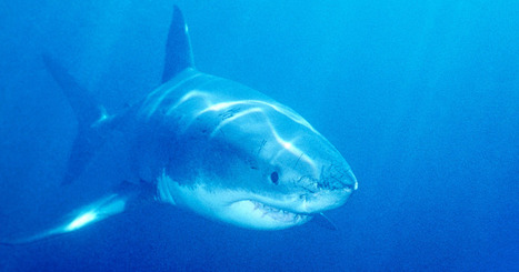 Shark News on Cape Cod | Shark conservation | Scoop.it