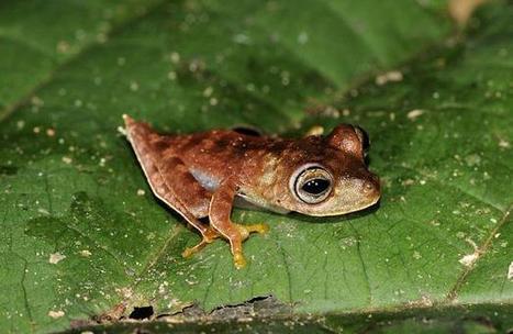 Une grenouille cowboy et plus de quarante espèces découvertes au Surinam - 20 Minutes   Bee'O Press   Scoop.it