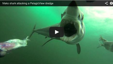 Mako Shark Attacks GoPro Camera | Shark Attacks | Scoop.it