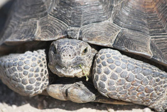 Mohave County may join tortoise coalition - Kingman Daily Miner - Kingman, Arizona | A Level Geog | Scoop.it