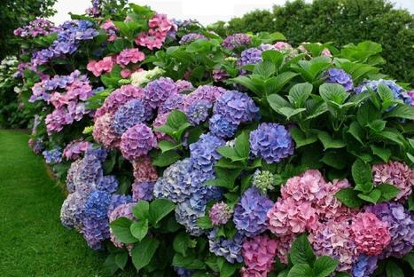 Timeless beauty of blooming hydrangeas back in style - Mackay Daily Mercury | Rose gardening for everyone | Scoop.it