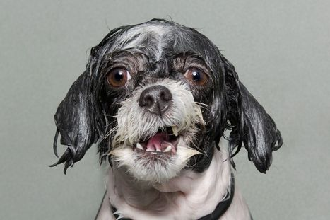Wet dogs: See photographer's hilarious snaps of pampered pooches taking a bath - Mirror.co.uk | All Things Dog | Scoop.it