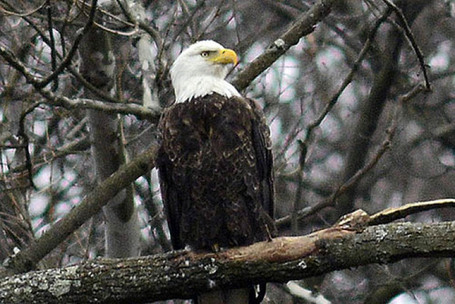Authorities seek killer of bald eagle near Loretto | Pittsburgh Pennsylvania | Scoop.it
