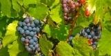 Beaujolais nouveau 2012, une cuvée de qualité ? | Accords mets vins | Scoop.it