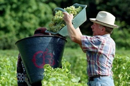 "Vendanges : la récolte 2012 est ""exceptionnellement basse"" 