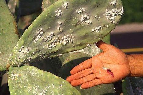 Bugs found on Tucson milkweed are milkweed bugs,  Oncopeltus fasciatus   CALS in the News   Scoop.it
