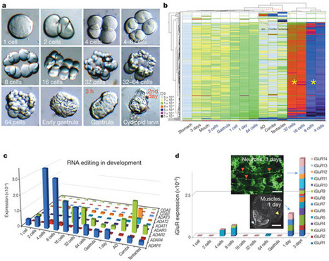 The ctenophore genome and the evolutionary origins of neural systems : Nature : Nature Publishing Group | Embrace the Junk | Scoop.it