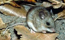 Lyme Vaccine for Mice Could Protect People - NBCNews.com | Lyme Disease | Scoop.it