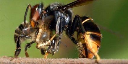 Les apiculteurs craignent toujours les frelons - La République des Pyrénées | Abeilles, intoxications et informations | Scoop.it