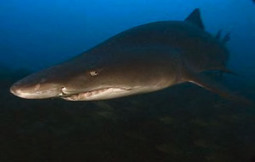 Study: Sharks feeding ability impaired by ocean acidification | Farming, Forests, Water, Fishing and Environment | Scoop.it