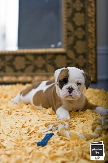 Funny Pictures Of Dogs: Baby Bulldog with The Carpet | Funny Animal Pictures | Scoop.it