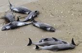 Japon: Des dauphins morts à Fukushima, les poumons irradiés - Wikistrike | Nature Animals humankind | Scoop.it