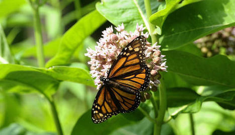 Monarch butterfly population at risk as habitat declines due to climate | 100 Acre Wood | Scoop.it