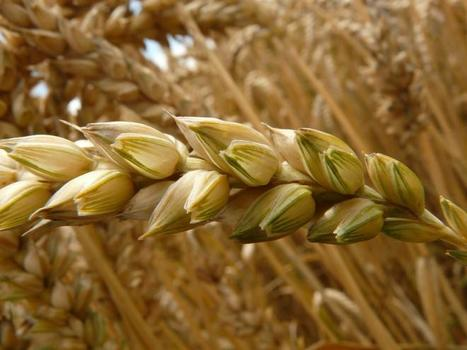 Syria's most unconventional weapon: wheat | Food Security | Scoop.it