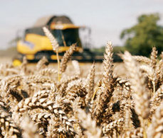 Rothamsted mention: Could wheat be made more like maize? | BIOSCIENCE NEWS | Scoop.it