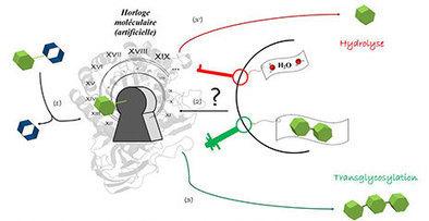 LISBP - Ingénierie et enzymologie : faire basculer une enzyme hydrolytique vers une activité de synthèse | Actualité des laboratoires du CNRS en Midi-Pyrénées | Scoop.it