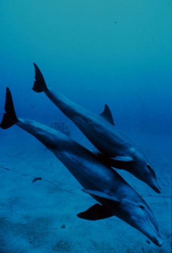 What Eats A Bottlenose Dolphin? | Earth Island Institute Philippines | Scoop.it