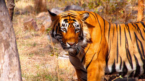 Tiger Skins Are Like Fingerprints—Could That Help Stop Smugglers and Poachers? | Wildlife Trafficking: Who Does it? Allows it? | Scoop.it