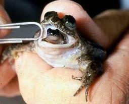 Científicos logran resucitar una especie de rana extinta hace más de 30 años | the new | Scoop.it