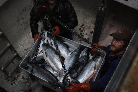 Go Fish (Somewhere Else): Warming Oceans Are Altering Catches : NPR | adapting to climate change | Scoop.it