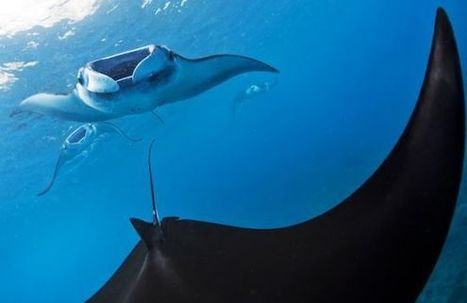 Kill a Manta Ray, Go to Jail - TakePart | Rays' world - Le monde des raies | Scoop.it