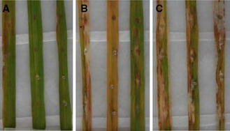 Inhibitory activities against rice pathogens of 8-hydroxy-2,4,6-octatriynamide from Agrocybe sp. | Rice Blast | Scoop.it