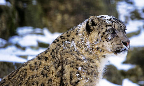 Building a Future for Snow Leopards | Stories | WWF | LadyoftheZoos | Scoop.it