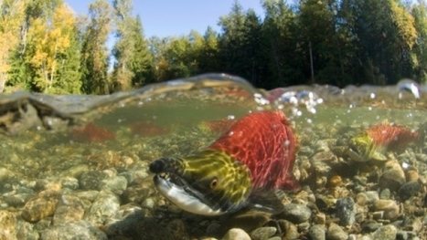 B.C. salmon prices set to skyrocket with climate change, according to new study   Sustain Our Earth   Scoop.it