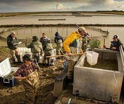 For fish and rice to thrive in Yolo Bypass, 'just add water' | Sustain Our Earth | Scoop.it
