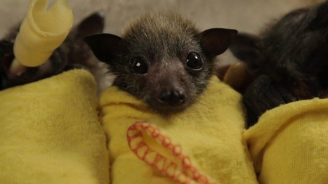 Baby Bat Burritos at the Australian Bat Clinic   The Kid Should See This   Provocations   Scoop.it