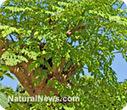 The many health benefits of Moringa oleifera | Moringa - Health and Nutrition | Scoop.it