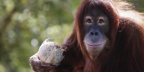 L'orang-outan pourrait totalement disparaître dans 10 ans | Biodiversité | Scoop.it