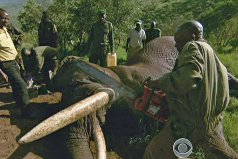 VIDEO: Elephant tusks pre-cut to discourage poachers | Wildlife Trafficking: Who Does it? Allows it? | Scoop.it