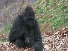 Gorilla plays in the leaves. | Daily Distractions | Scoop.it