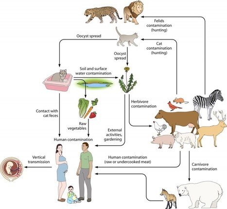 Toxoplasmosis : What All Cat Owners Should Know | Cat Care And Fun | Scoop.it