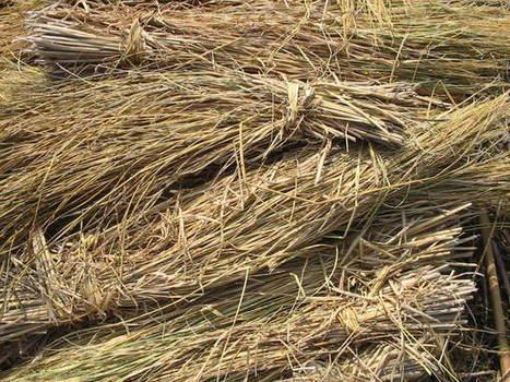 Rice Straw As Bioenergy Resource | anaerobic digestion | Scoop.it