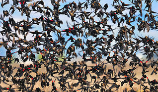 Speak up for California's Tricolored Blackbirds - Audubon California | GarryRogers Biosphere News | Scoop.it