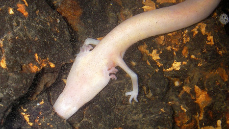 Through a glass darkly: assessing population size of an endangered cave salamander from samples of spring and cave water | spéléo | Scoop.it