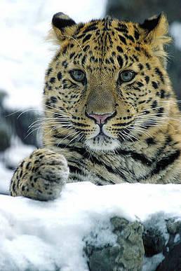 Amur leopard | amur leopard | Scoop.it