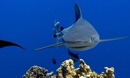 Shark culling could indirectly accelerate climate change, study warns - The Guardian | Focus on Biology | Scoop.it
