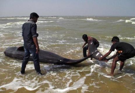Inde : 45 baleines retrouvées mortes sur une plage du sud | Des infos sur notre planète : ecologie , biodiversité | Scoop.it