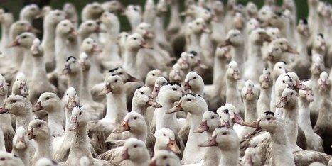 3,2 millions débloqués pour les agriculteurs de Dordogne victimes de la crise aviaire | Agriculture en Dordogne | Scoop.it